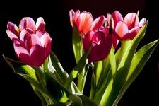 Beauty Tulip Flower Wallpaper screenshot 2/6