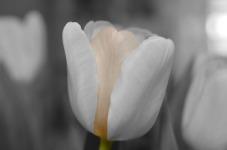 Beauty Tulip Flower Wallpaper screenshot 5/6