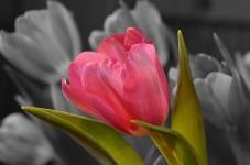 Beauty Tulip Flower Wallpaper screenshot 6/6