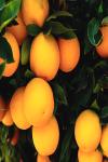 Benefits of Oranges screenshot 2/4