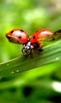 Ladybug Lucky Charm Water LWP screenshot 2/3