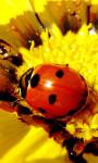 Ladybug Lucky Charm Water LWP screenshot 3/3