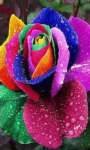 Rainbow Rose live Wallpape screenshot 1/3