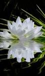 Nature White Lotus LWP screenshot 2/3