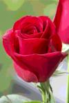 Rose Wallpaper HD screenshot 1/1