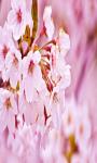 Sakura Flower Live Wallpaper Free screenshot 2/5