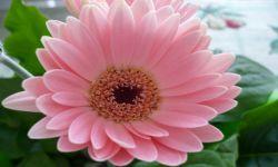 Pink Flower Wallpapers screenshot 1/3