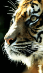 Sumatran Tiger Background screenshot 6/6