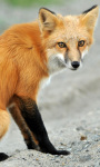 Red Fox Live Wallpaper screenshot 1/4