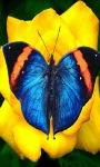 Blue Butterfly LWP screenshot 1/3