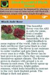 Most Beautiful Black Roses screenshot 3/3