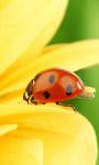 Ladybug On Yellow Flower Live Wallpaper screenshot 1/4