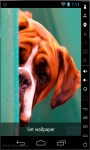 Cute Boxer Puppy LWP screenshot 2/2