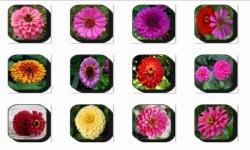 Zinnia Flowers Onet Classic Game screenshot 1/3