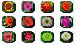 Zinnia Flowers Onet Classic Game screenshot 2/3