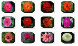 Zinnia Flowers Onet Classic Game screenshot 3/3