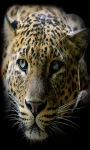 Quite Leopard Live Wallpaper screenshot 1/3