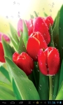 Dew drops on tulips lwp free screenshot 3/4