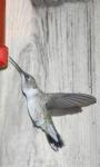Humming Bird live wallpaper screenshot 1/3