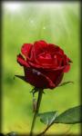 Roses Live Wallpaper Rose screenshot 2/6
