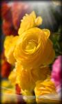 Roses Live Wallpaper Rose screenshot 5/6