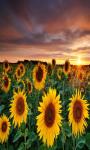 Sunflower Field Live Wallpaper Free screenshot 2/5