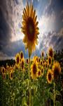 Sunflower Field Live Wallpaper Free screenshot 3/5