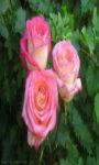 Three pink roses Wallpaper HD screenshot 1/3