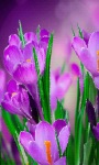 Violet Flowers Live Wallpaper screenshot 1/3