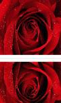 Beautiful red rose in macro shot wallpaper HD screenshot 2/3