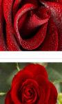 Beautiful red rose in macro shot wallpaper HD screenshot 3/3