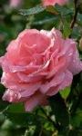 Pink Dewy Rose Live Wallpaper screenshot 3/3