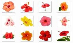 Hibiscus Flowers Onet Classic Game screenshot 1/3