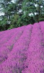 Lavender HD Wallpaper - Mindblowing screenshot 3/4