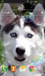 Puppy Husky Live Wallpaper screenshot 2/2