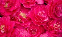 Galaxy S5  Pink Wallpaper screenshot 3/3